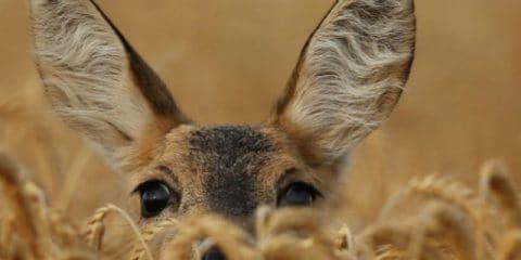 8 Wildtiere, die man in Europa beobachten kann